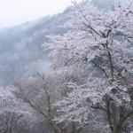 吉野山の桜混雑時のアクセス 駐車場は停められる?まわり方は?