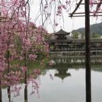 しだれ桜が美しい京都の平安神宮 見頃やライトアップは?