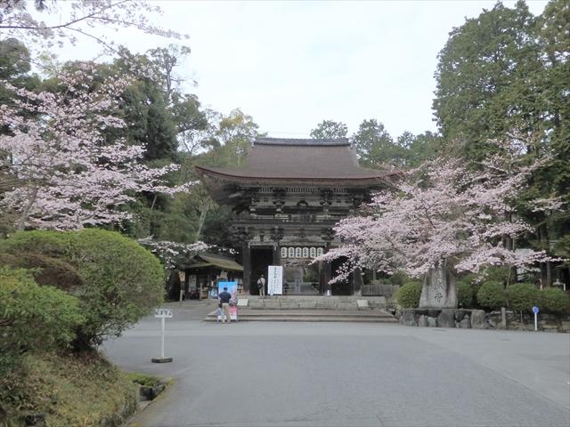 三井寺 桜