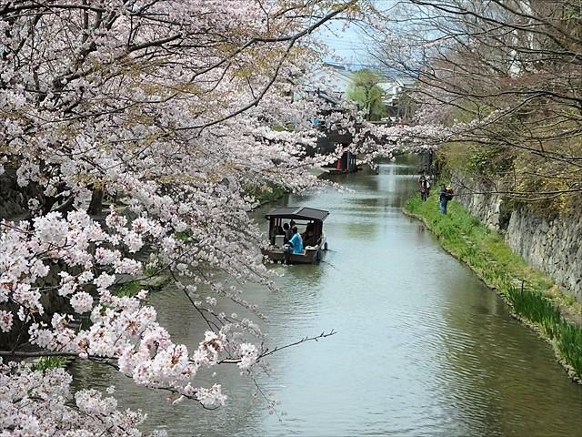 近江八幡桜